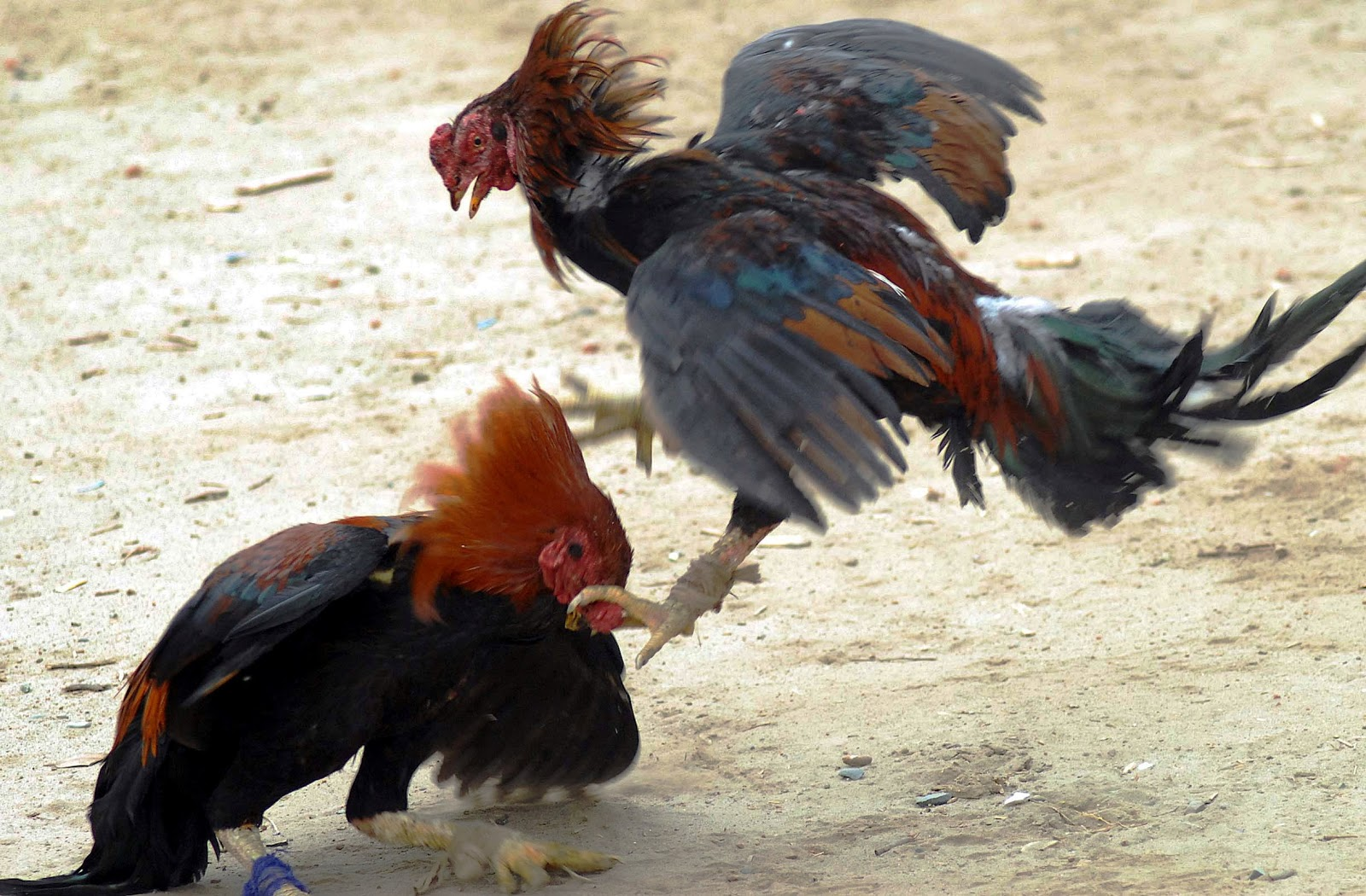 Paragwaj walki kogutów